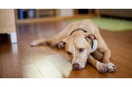 magas vérnyomás kutyáknál