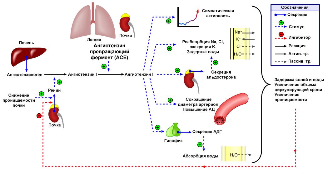 Hipertónia 1 fok: a fejlődés, a diagnózis és a kezelés mechanizmusa - Vasculitis